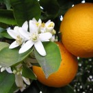 Flori de portocala